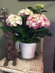 Pretty Pink Hydrangea from Catoosa Flowers in Catoosa, OK