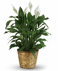 Peace Lily from Catoosa Flowers in Catoosa, OK