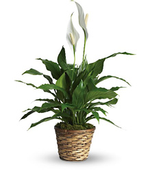 Simply Elegant Spathiphyllum - Small from Catoosa Flowers in Catoosa, OK