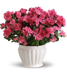 Azalea from Catoosa Flowers in Catoosa, OK